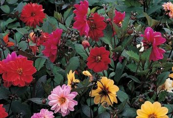 """Il meraviglioso mondo dei fiori – dalie """"Jolly Fellows"""""""