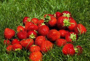 Como a crescer morangos a partir de sementes: dicas para iniciantes produtores