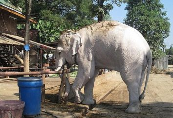 Białe słonie – boskie stworzenie