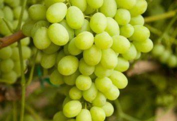Uve Lancelot: descrizione e caratterizzazione delle varietà