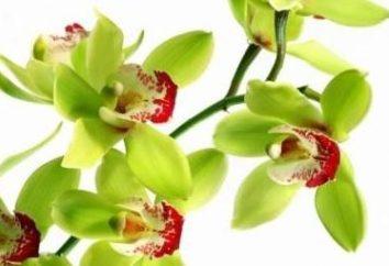 Caratteristiche della manutenzione di epifite: come rinvasare un'orchidea a casa.