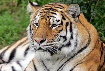 Wieczny wędrowiec, lub skąd tygrysa?