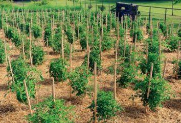 Em quantos dias chegarão os tomates? Sementes de tomate: sementes para mudas. Quais tipos de tomates são melhores?