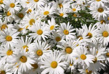 Daisy: la plantation et l'entretien en plein champ, photo