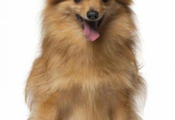 Miniaturowy Spitz: Pies rasy opis i zdjęcia