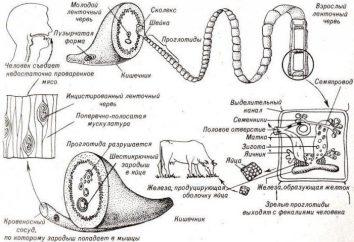 Tapeworm bullish: der Zyklus der Entwicklung, Bühne Layout und Fotos