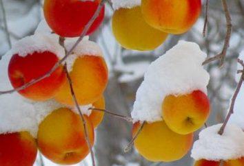 Os preparativos para o inverno – se é possível congelar maçãs?
