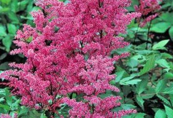 Astilbe fiori – giardino ombreggiato preferito