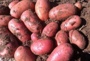 """Patatas """"Dama de rojo"""": descripción de la variedad, de la foto, las respuestas de rendimiento de los cultivos"""