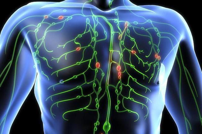 La fisiología y la anatomía humana. El sistema linfático