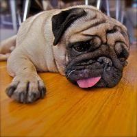 Se a constipação em cães: o que fazer?