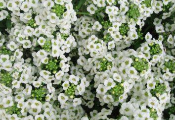 fleurs de jardin pour les paresseux: Alysson, calendula et pourpier