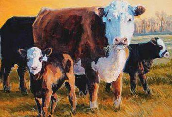 Hereford Kühe: charakteristisch, Inhalt, Foto und der Preis für Kälber