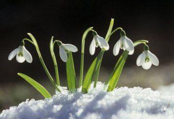 Riddle sobre o snowdrop para crianças de todas as idades