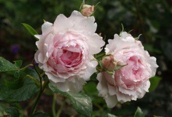 rose Austin – fiori di origine inglese