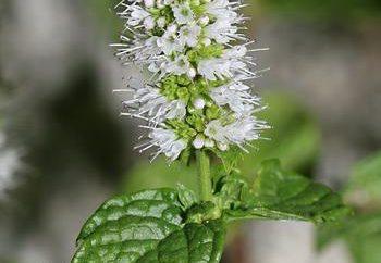 Mint: propriedades terapêuticas e contra refrescantes ervas