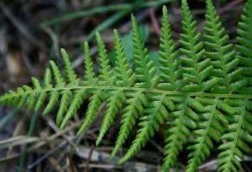 Helecho Athyrium femenino: plantación y cuidado