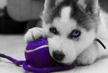 Co do paszy husky? Karmienie szczeniaka i dorosłego psa Laika