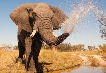 Jak ciężki jest słoń afrykański porównanie i fakty