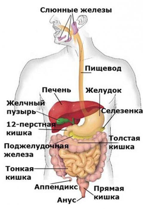 Menschliche Verdauungssystem: Struktur und Funktion (Foto)