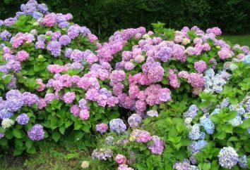 Kwiaty hydrangeas – co może być piękniejsze?