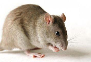 Marzył o szczurach: alarm, czy nie?