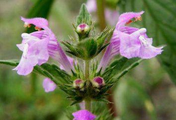 Galeopsis zwykłych: opis i właściwości lecznicze