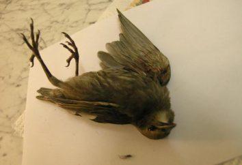 Warum ein toten Vogel träumen? Sagt voraus, dass eine solche traurige Vision?