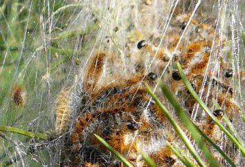 Perché sono i bruchi sul pino? Come trattare con un parassita?