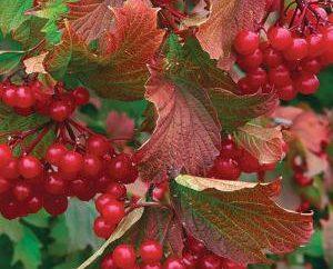 Sabrosa y saludable Viburnum atasco: receta en varias realizaciones