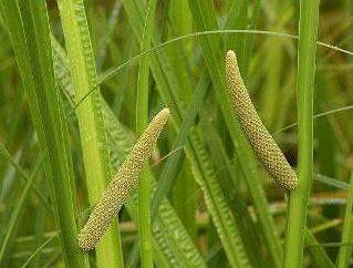 Che cosa è una pianta erbacea perenne della famiglia Araceae?