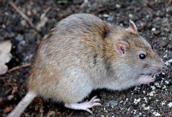 Szczur Pasyuk: opis, zdjęcia