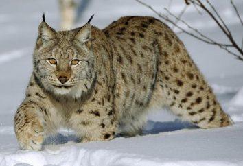 Lynx: caratteristiche e descrizione. Mentre la lince è protetta dal nemico?