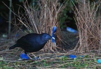 Uccello Bowerbird: descrizione, l'habitat e fatti interessanti