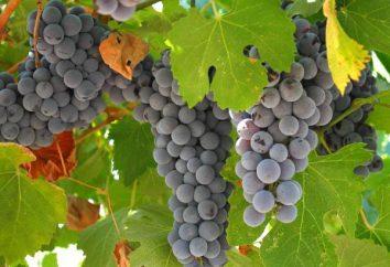Szczepienie jesienią. Technologia szczepienia winogron