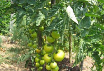 Najlepsze odmiany pomidorów na otwartym polu. Popularne odmiany pomidorów na otwartym polu