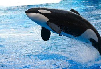 gatunek wieloryba: lista zdjęć. Zębowców: Rodzaje