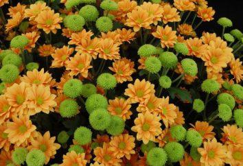 Types et caractéristiques des chrysanthèmes de soins