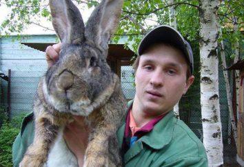 Bellos gigantes conejos de orejas: raza suben