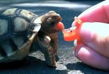 Że jeść żółwia w domu?