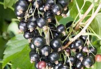 ribes a colonne: la descrizione delle varietà, la semina e la cura