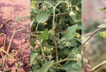variétés de tomates résistantes au mildiou, apporter un rendement élevé