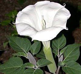 fleurs Datura – plantes insolites et magiques dans votre jardin