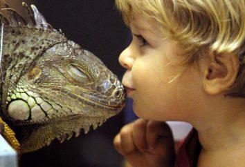 Iguanes sont toxiques: comment vivre près du dangereux « voisin »?