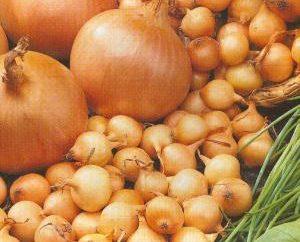 Opis odmian cebuli. Sturon – przedstawiciel holenderskiej wyboru