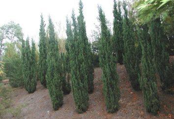 Ginepro cinese – preferito pino in giardino
