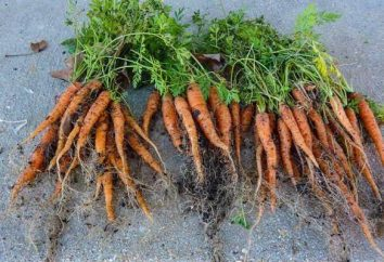 Engrais pour les carottes et sa bonne culture