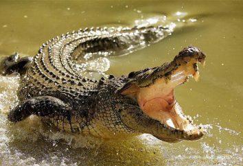 Farma krokodyli (Jekaterynburg): pokazuje z krokodyl nilowy