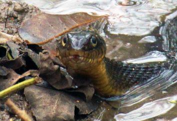 Por que cobras na água? O que significa se uma cobra morde na água em um sonho?