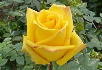 Rose Mohan – bellissimi fiori